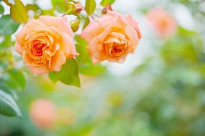 わたなべももの写真講座 京成バラ園で秋の薔薇撮影